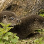 European otter cubs