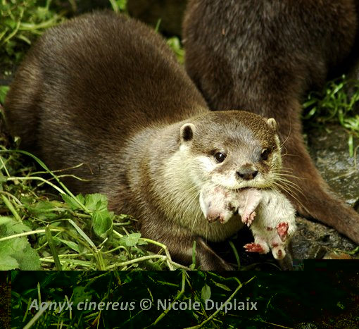 Asian Small Clawed Otter Food Chain