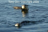 Two African Clawless Otters swimming