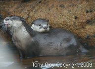 One African Clawless Otter poking out its tonge while another rests its head on its back