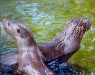 Two neotropical river otters