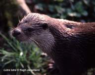 Head of Eurasian Otter