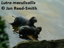 Lutra maculicollis, copyright Jan Reed-Smith
