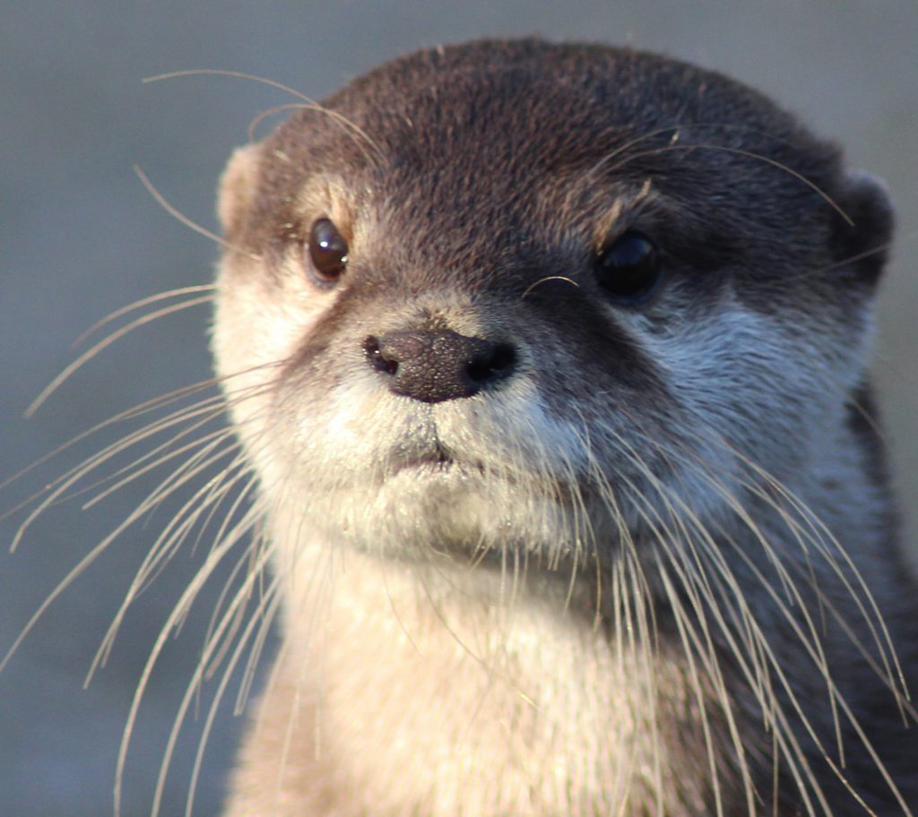 Asian Small-clawed Otter (Aonyx cinereus) | IUCN Otter ...