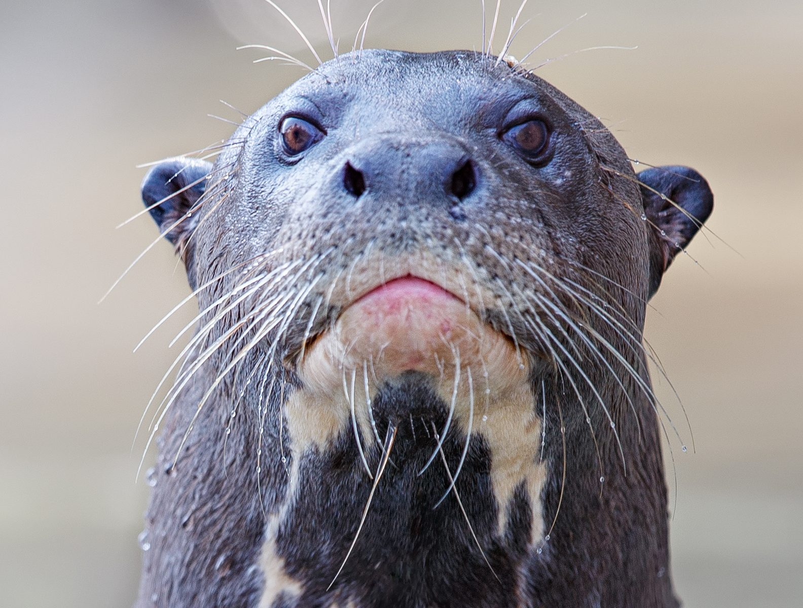 giant otter giant river otter giant otter size amazon river otter south american otter giant sea otter giant river otter size giant otter facts amazon otters largest otter pteronura siamogale melilutra south american river otter giant otter habitat giant amazon otter the giant otter brazilian otter large otter giant river giant otter population giant otter diet giant otter amazon rainforest giant otter lifespan giant river otter facts amazon giant river otter giant otter predators huge otter giant otter endangered giant 6ft otters sea otters are known to affect the development of giant kelp forests by giant brazilian otter giant otter length giant otter conservation status world's largest otter the giant river otter chester zoo giant otters giant otters chester zoo giant 6 foot otters giant prehistoric otter giant river otter diet giant river otter weight giant otter prey giant river otter habitat giant sea otter size largest river otter 6 foot river otter river otter giant giant river otter amazon rainforest river wolves otter south american giant river otter giant otter extinction